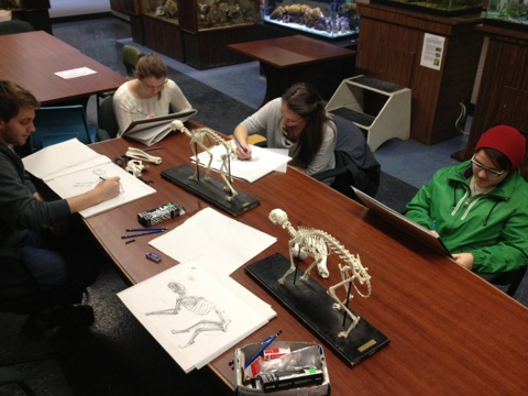 Drawing skeleton specimens at the Dalhousie McCulloch Museum.