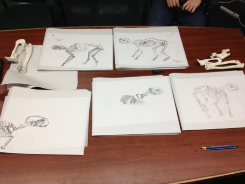Final drawings of the cat skeleton on mylar paper.
