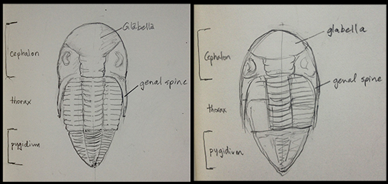 Observation-drawing of illustration from Benton and Harper 2012 (left) and memory-drawing after 1-hour (right).