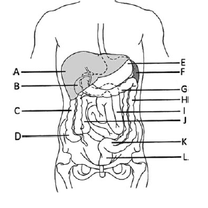 An example of an image used in assessment of anatomy knowledge, from Vorstenbosch et al 2013.